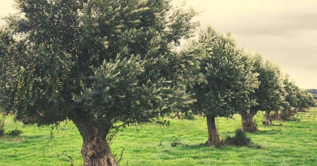 Bible Verses About Olive Trees